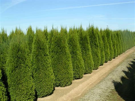 trees for privacy arborvitae by the truckload