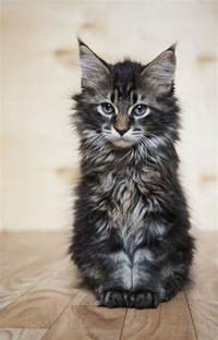 pictures of maine coon cats 25 best ideas about maine coon kittens on