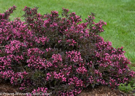 weigela shrubs spilled wine 174 weigela florida proven winners