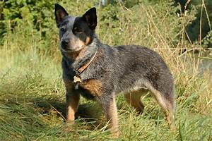Australian Cattle Dog/Blue Heeler Puppies for Sale from ...
