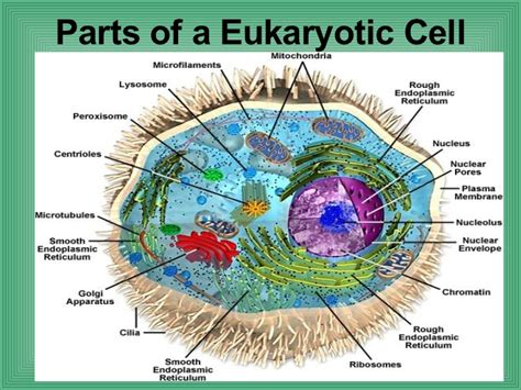 42 Parts Of A Eukaryotic Cell