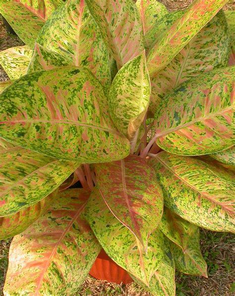 tanaman hias naturalness ornamental plants