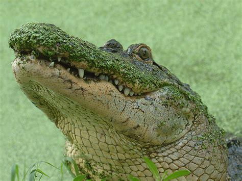 american alligator zoo