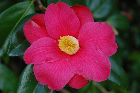 camellia flower camellia japonica donkelaarii landscape architect s pages