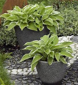 Plante Balcon Facile D Entretien : hosta plantation et conseils d 39 entretien ~ Melissatoandfro.com Idées de Décoration