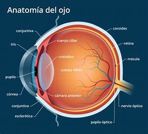 Anatom U00eda Del Ojo Humano