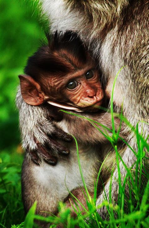 long tailed macaque  infant java indonesia photo