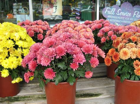 will mums bloom top 28 will mums bloom what s doing the blooming fall blooming mums knecht s top 28 will
