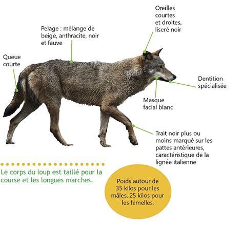 le loup biologie et pr 233 sence en ferus