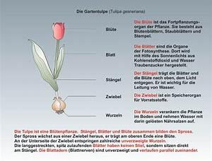 Aufbau Der Zwiebel : kologie unterrichtssoftware die tulpe ~ Lizthompson.info Haus und Dekorationen