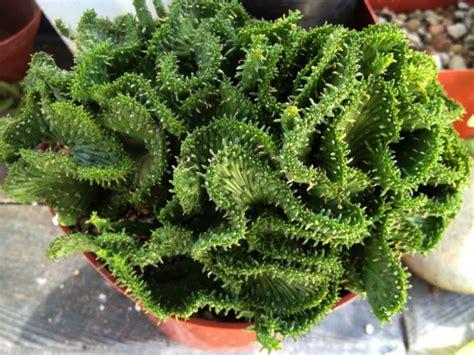 euphorbia care euphorbia flanaganii f cristata green coral world of succulents