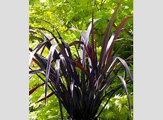 PlantFiles Pictures Phormium, New Zealand Flax 'Black