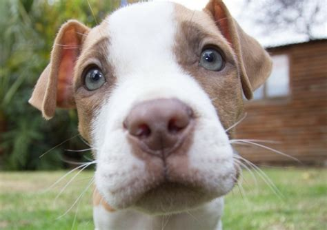 Top  Misconceptions About Pit Bulls Dogvills