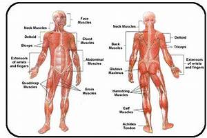 Muscles In The Body Diagram No Labels