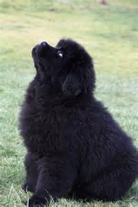 Cute Newfoundland Dog Puppies