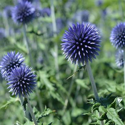 Thistle Globe Scotland National Seeds Flowers Country