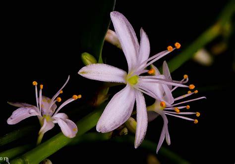 Zimmerpflanzen Portraet Gruenlilie by Gr 252 Nlilie Chlorophytum Comosum Foto Bild Pflanzen