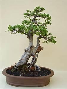 Bonsai Chinesische Ulme : bonsai chinesische ulme alter solit r genki bonsai ~ Frokenaadalensverden.com Haus und Dekorationen