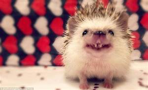 Huff the hedgehog becomes Instagram star thanks to his ...