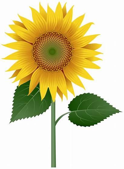Sunflower Transparent Clipart Flowers Yopriceville