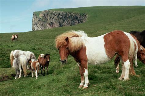shetland pony ponies wild shetlands colors meet bokt schafer variety kevin come getty informatie gezocht shetlander goede thuis heel voor