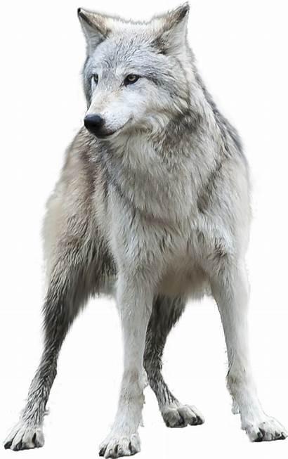 Wolf Transparent Grey Clipart Gray Deviantart Pluspng