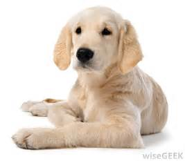 what are the best dog breeds for a family pet with pictures