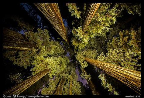 Picturephoto Looking Up Redwoods Lighted At Night