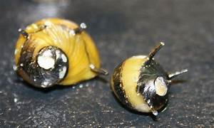 The Ultimate Guide To Caring For And Keeping The Nerite Snail