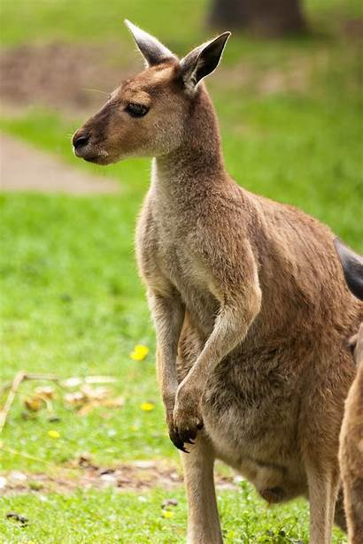 Kangaroo Tail Australia Balance