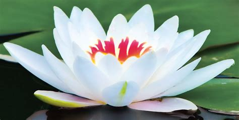 Stulto Leo: Lotus