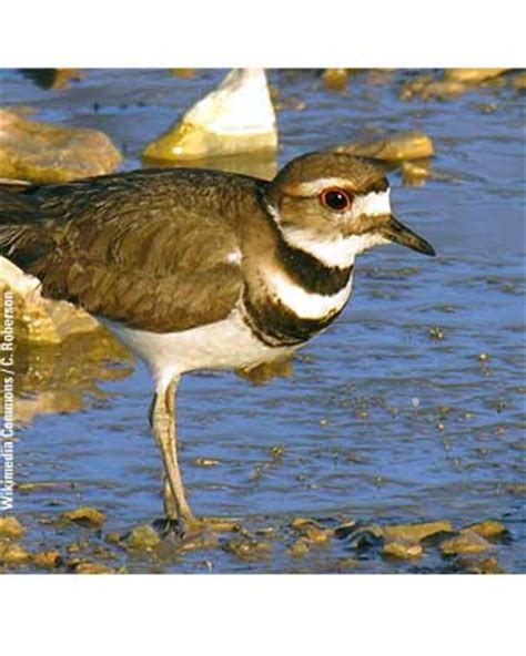 killdeer water connection migratory birds of the great