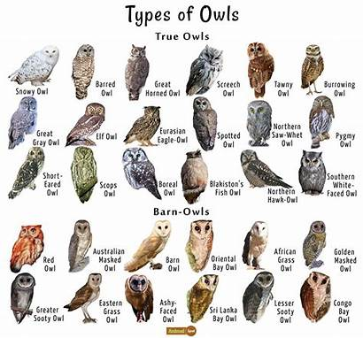 Owls Owl Types Facts Species Bird Animals