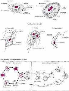 Protozoa and Animal Parasites | Microbial Pathogens ...