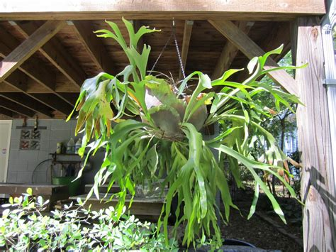 how to plant a staghorn fern in a hanging basket about staghorn ferns tips