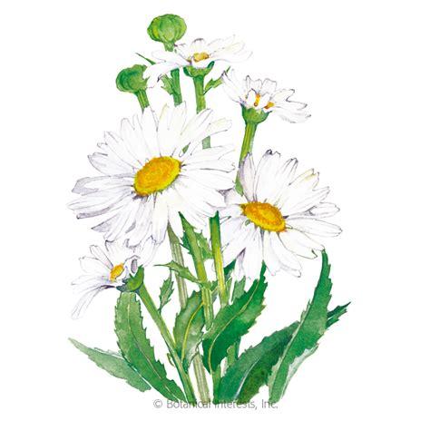alaska shasta daisy seeds view  flowers botanical interests