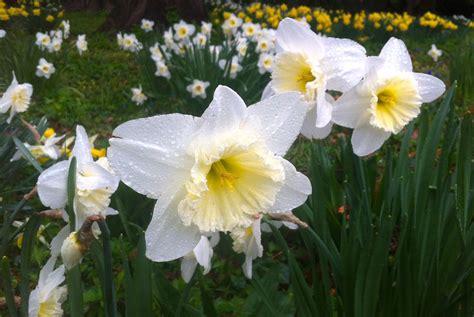 daffodil days  blithewold mansion