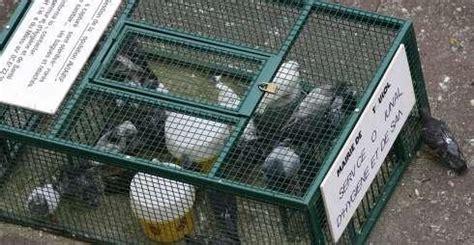 toulouse on ach 232 ve bien les pigeons 31 07 2007 ladepeche fr