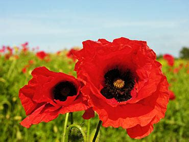 memorial poppy flower memorial day poppies remembering our heros linda s flowers and plants