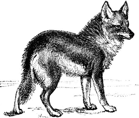 coyote clipart black and white coyote clipart etc