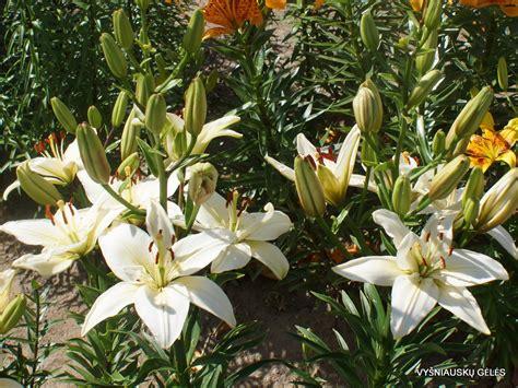 'Dimanta Zvaigzne' - Vyšniauskų gėlės