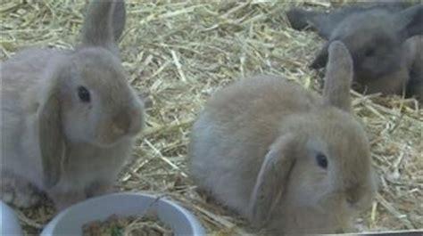Animali Da Cortile Definizione by Allevamento Conigli Conigli Consigli Per Allevare Conigli