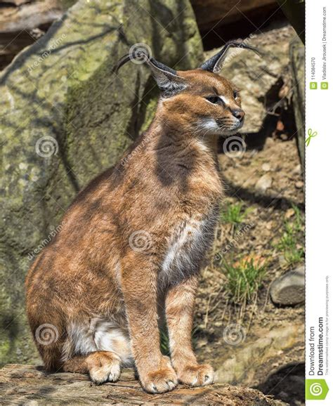 caracal cat agile very ears preview