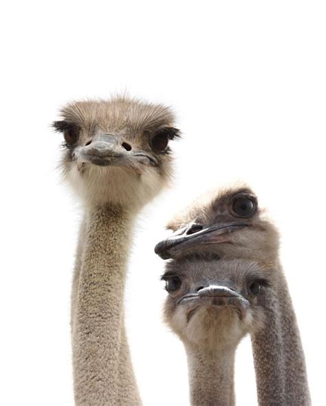 38 Best Ostrichfunny Faces ** Images On Pinterest