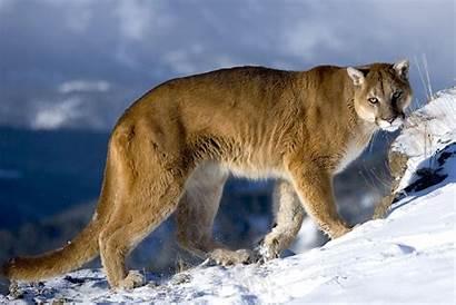 Wildlife Amazing Cougar Puma Animals Mountain Suha