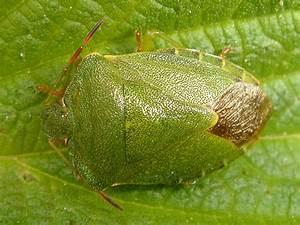 True Bugs  Heteroptera