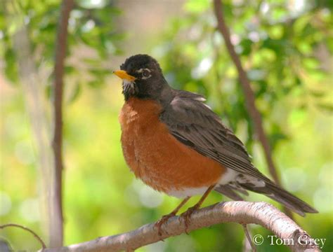 american robin facts and pictures the wildlife