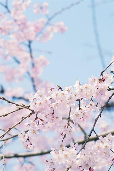 iphone  sakura wallpapers hd desktop backgrounds