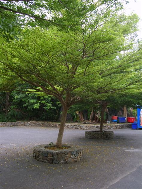 small shade trees types of fast growing shade trees pictures to pin on pinterest pinsdaddy