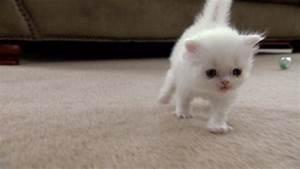 Concept Design Home: Cute Munchkin Kitten Images
